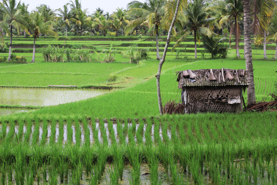 Localism-rice-field